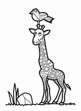 Giraffe Coloring Pages Drawing Printable Giraffes Drawings Sheets Bestcoloringpagesforkids Clipart Animal Animals Cartoon Bird Designs sketch template
