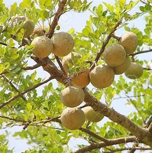 Bael Fruit Tree 8 Seeds - Aegle - Wood Apple | eBay