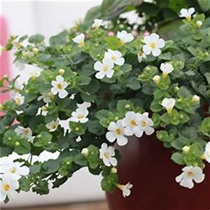 Bacopa Abunda Related Keywords - Bacopa Abunda Long Tail ...