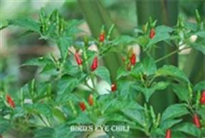 Is Bird's eye chili can substitute for Chiltepin pepper ...