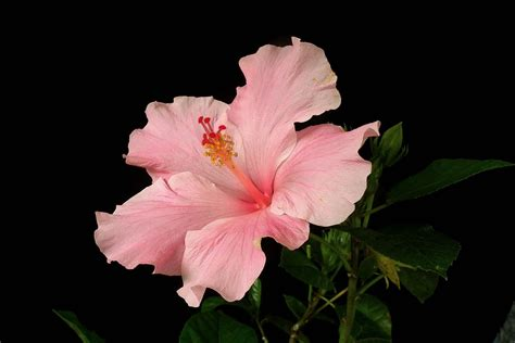hibiscus wallpapers pictures images