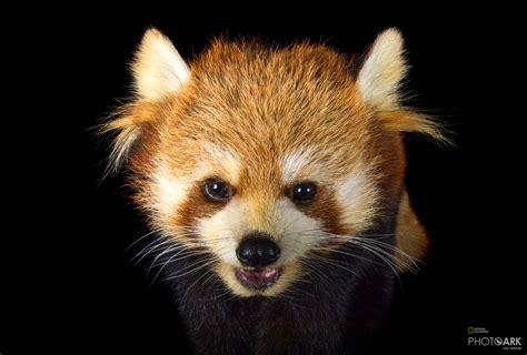 panda geographic national ark zoo toronto endangered ailurus fulgens canada western society scientific