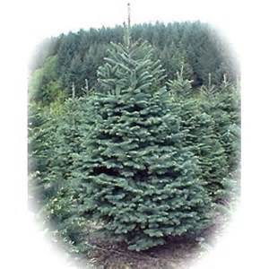 noble fir real trees