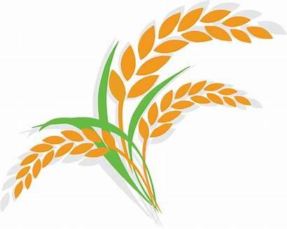 Rice Wheat Cartoon Icon Paddy Clipart Oat