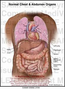 Normal Chest And Abdomen Organs Medical Illustration