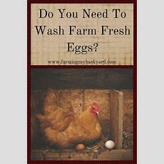 Do You Need To Wash Farm Fresh Eggs?  Farming My Backyard