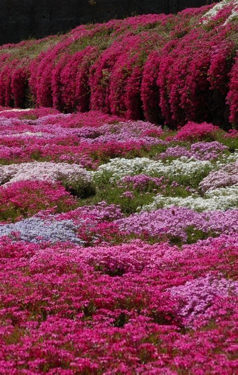 moss phlox nagano flowers garden is in the