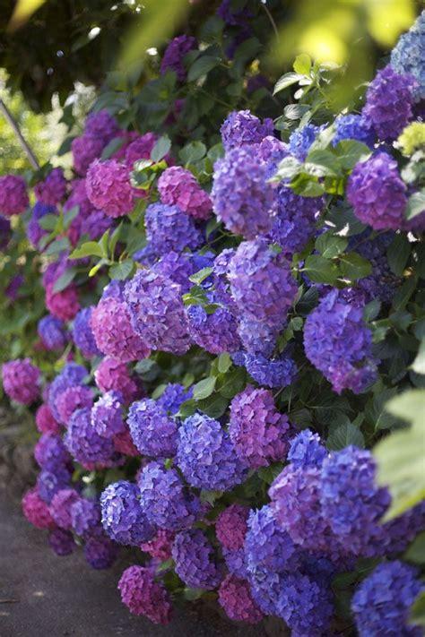 purple hydrangea pink and purple hydrangeas fairytale gardens pinterest