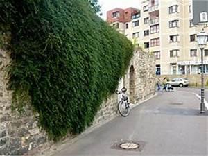 Immergrüne Kletterpflanzen Winterhart : h ngepflanzen verwendung in der fassadenbegr nung ~ Eleganceandgraceweddings.com Haus und Dekorationen