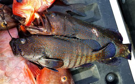 catch roi uhu kole menpachi roy grouper kala fish tasty island caught diamond