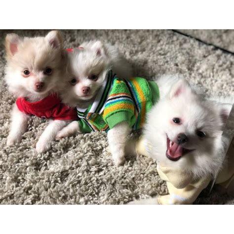 adorable pom puppies  atlanta georgia puppies  sale