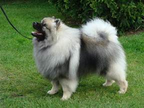 dogs that dont shed keeshond baby keeshond breeds picture
