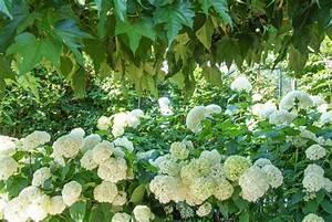 Hortensien Kombinieren Mit Anderen Pflanzen : hortensien das passt dazu hortensien hortensien garten hortensien und hortensien wei ~ Eleganceandgraceweddings.com Haus und Dekorationen