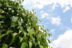 Ficus Benjamini Gelbe Blätter : ficus benjamini tr gt die birkenfeige fr chte ~ Watch28wear.com Haus und Dekorationen
