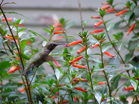 cigar plant hummingbirds sacramento area hummingbird question