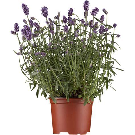 Bilder Mit Lavendel by Lavendel Kaufen Bei Obi