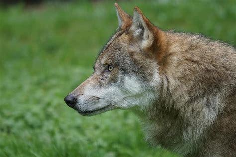 vilks, plēsējs, plēsēji, eiropas vilks, iepakot dzīvniekus ...