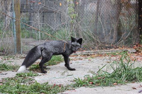 dna  foxes bred   pets teaches   humans