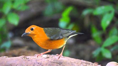นกเดินดงหัวสีส้ม สวนรถไฟ - YouTube