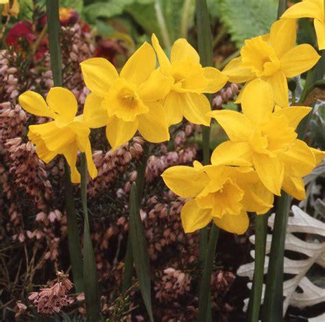 buy jonquilla daffodil bulbs narcissus sweetness