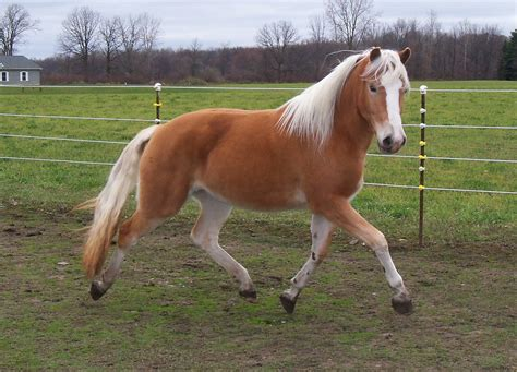 haflinger horse horses pony van horizons farms breed austria gold collect genesis facts rhapsody