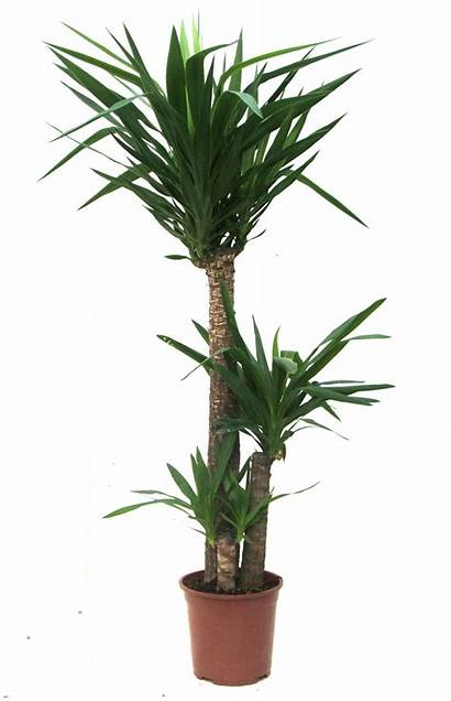 Plant Plants Indoor Palm Bamboo Tree Palms