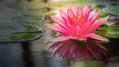lotus flower images full hd pictures and wallpapers