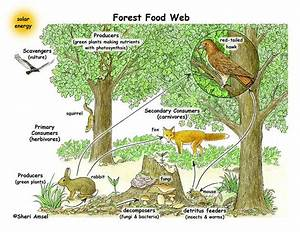 Forest Ecosystem Food Web | To make black and white copies ...
