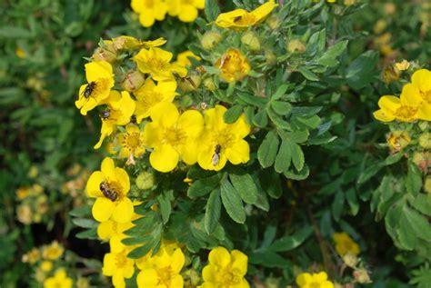 Potentilla Fruticosa Jackmanii - Let's Go Planting