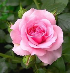Navyahemanth  My Beautiful Roses