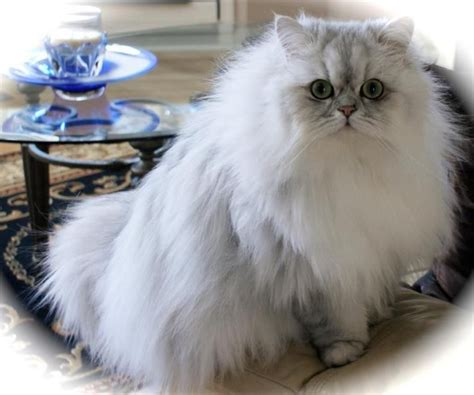 324 Best Chinchilla Silver Shaded Persians Images On