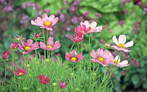 everything you need to about cosmos the flower of