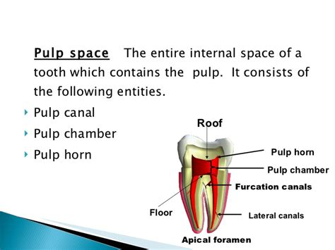canile chambre anatomy of the pulp space