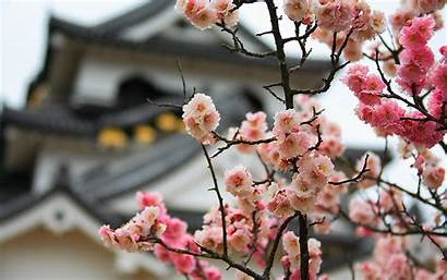 Background Cherry Japan Blurred Bokeh Blossoms Flowers