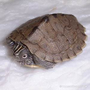 Mississippi Map Turtle - side view - Mississippi Map Turtle