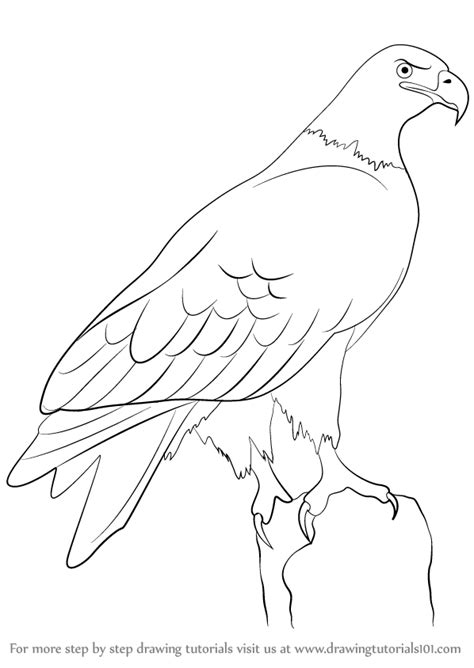 learn   draw  eagle birds step  step drawing