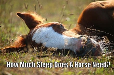 horses sleep horse much need sleeping