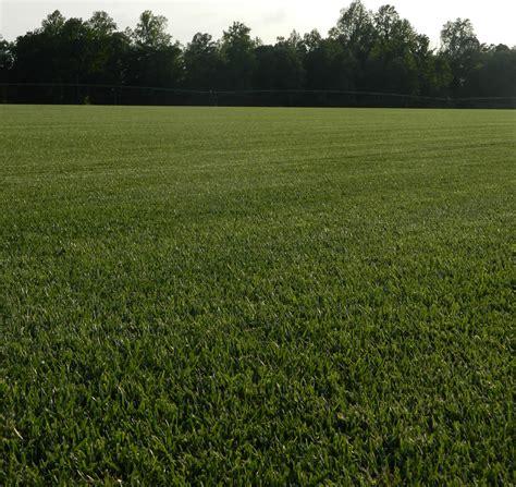 fescue sod confederate fescue blend grass sod from dmg turf