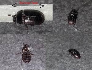 Insecte De Maison : alphitobius diaperinus invasion insectes maison neuves ~ Melissatoandfro.com Idées de Décoration