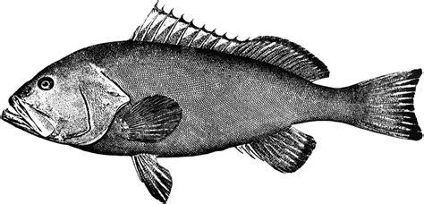 grouper clipart fish clip etc cliparts library medium tiff usf edu