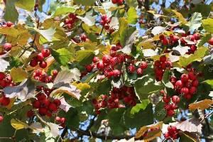 Baum Mit Roten Beeren : herbst rote beeren irga shadberry baum stockfoto m photographer 77808608 ~ Markanthonyermac.com Haus und Dekorationen
