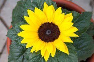 Sonnenblume Im Topf : sonnenblume als topfpflanze ziehen tipps zu topfgr e aussaat standort pflege ~ Orissabook.com Haus und Dekorationen