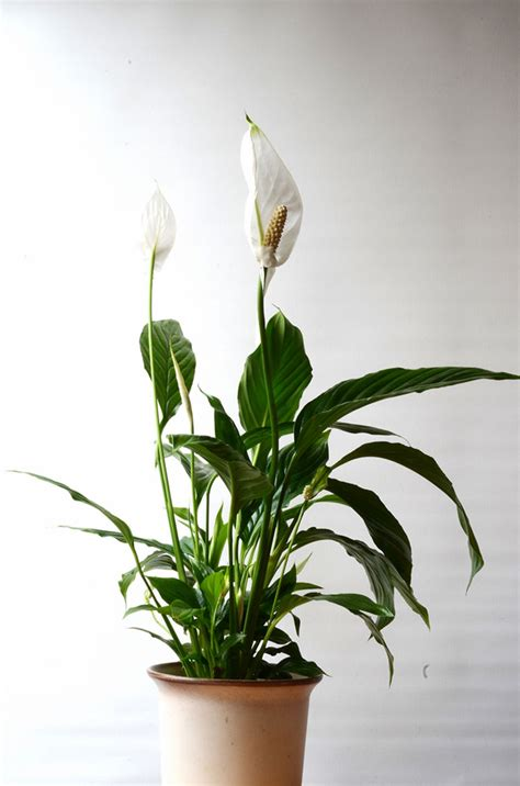 indoor lilies peace lily care how to grow spathiphyllum