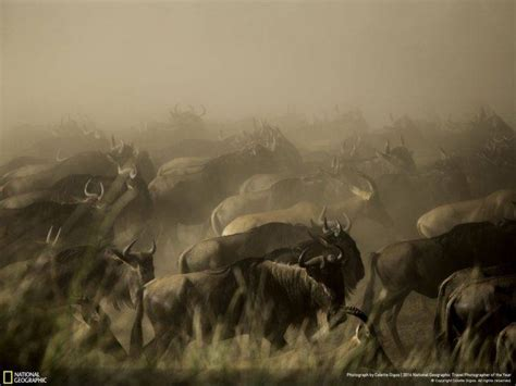 National Geographic Animal Hd Wallpapers - animals national geographic wildebeests wallpapers hd