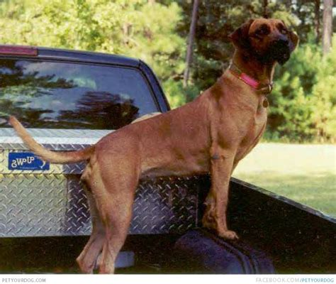 black mouth cur information and community for the black