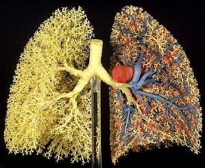 Alveoli Real
