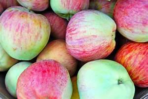 Essay On Apple Fruit Merchant Of Venice Essays Essay On Custard  Essay On Apple Fruit In Urdu  Goodnight Mr Tom Essay