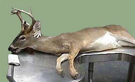 Whitetail Deer Shedding Velvet by Mississippi State University Deer Lab Abnormalities