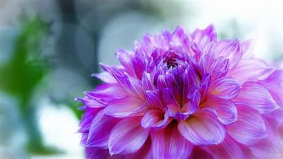 Flower Purple Desktop Dahlia Delicate Resolution Backgrounds