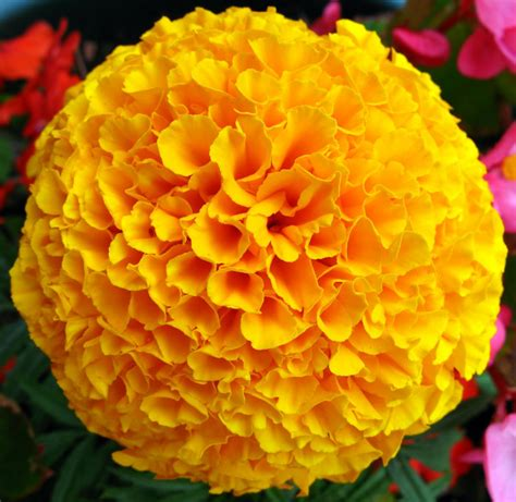 pictures of marigold flowers marigolds